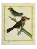 Red-Throated Cayenne Barbet and Grey-Throated Barbet Giclee Print by Georges-Louis Buffon