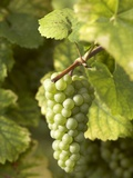 Riesling Grapes on the Vine Photographic Print by Joerg Lehmann