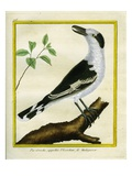 Common Fiscal Shrike Giclee Print by Georges-Louis Buffon