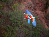 South America, Brazil, Mato Grosso, Bonito, Ara Chloropterus (Red-And-Green Macaw) at the Buraco Da Photographic Print by Alex Robinson