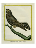 White-Tailed Nightjar Giclee Print by Georges-Louis Buffon