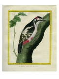 Male Great Spotted Woodpecker Giclee Print by Georges-Louis Buffon