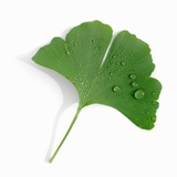 A Ginkgo Leaf with Drops of Water Photographic Print by Alexander Feig