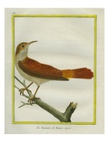 Rufous Hornero Reproduction procédé giclée par Georges-Louis Buffon