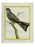 Roraiman Nightjar Giclee Print by Georges-Louis Buffon
