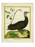 Brazilian Vulture Giclee Print by Georges-Louis Buffon