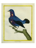 Cotinga Du Brésil Giclee Print by Georges-Louis Buffon