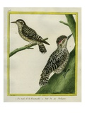 Male Hoffmann's Woodpecker and Sulawesi Pygmy Woodpecker Giclee Print by Georges-Louis Buffon