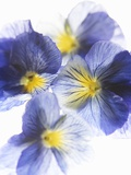 Purple and Yellow Pansies Photographic Print by Joerg Lehmann