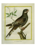 Nightjar Giclee Print by Georges-Louis Buffon