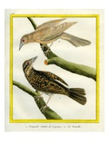 Common Starling and the Female Reproduction procédé giclée par Georges-Louis Buffon