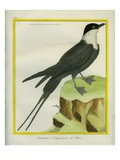 Long-Tailed Jaeger Giclee Print by Georges-Louis Buffon