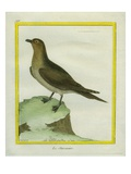 South Polar Skua Giclee Print by Georges-Louis Buffon
