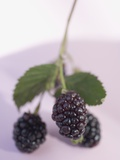 Blackberries on Stalk with Leaves Photographic Print