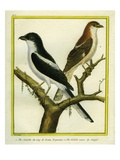 Magpie Shrike and Red-Backed Shrike Reproduction procédé giclée par Georges-Louis Buffon