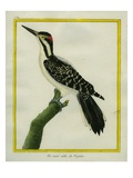 Male Downy Woodpecker Giclee Print by Georges-Louis Buffon