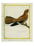Todd's Nightjar Giclee Print by Georges-Louis Buffon
