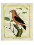 Crossbill Giclee Print by Georges-Louis Buffon