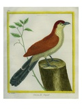 African Cuckoo Reproduction procédé giclée par Georges-Louis Buffon