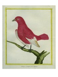 Pompadour Cotinga Giclee Print by Georges-Louis Buffon