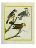 Gros-Bec De Virginie, Gros-Bec Des Indes Et Gros-Bec Appellé La Nonette Giclee Print by Georges-Louis Buffon