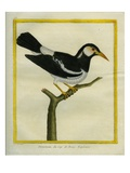 Pied Starling Giclee Print by Georges-Louis Buffon