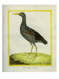 Speckled Crake Giclee Print by Georges-Louis Buffon
