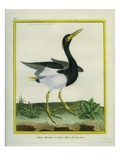 White-Bellied Heron Giclee Print by Georges-Louis Buffon