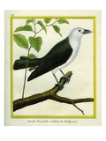 White-Bellied Cuckooshrike Giclee Print by Georges-Louis Buffon