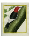 Redheaded Woodpecker Giclee Print by Georges-Louis Buffon