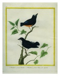 White-Throated Manakin and White-Fronted Manakin Giclee Print by Georges-Louis Buffon