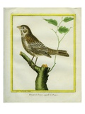 Corn Bunting Giclee Print by Georges-Louis Buffon