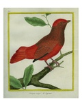 Guianan Red-Cotinga Giclee Print by Georges-Louis Buffon