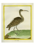 Whimbrel Giclee Print by Georges-Louis Buffon