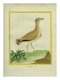 Courser Giclee Print by Georges-Louis Buffon
