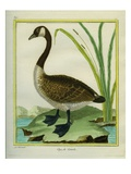Canada Goose Giclee Print by Georges-Louis Buffon