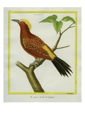 Chestnut Woodpecker Giclee Print by Georges-Louis Buffon
