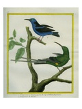 The Long-Tailed Creeper from the Cape of Good Hope and the Brazilian Creeper Giclee Print by Georges-Louis Buffon