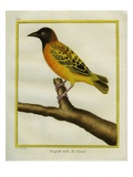 African Golden Oriole Reproduction procédé giclée par Georges-Louis Buffon