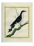 Jacobin Cuckoo Reproduction procédé giclée par Georges-Louis Buffon