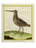 Giant Snipe Giclee Print by Georges-Louis Buffon