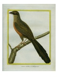Red-Breasted Coua Giclee Print by Georges-Louis Buffon
