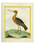 Common Greenshank Giclee Print by Georges-Louis Buffon