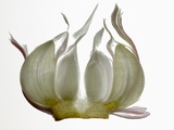 Garlic Photographic Print
