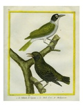 Palmchat and Eurasian Golden Oriole Reproduction procédé giclée par Georges-Louis Buffon