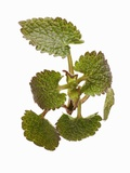 Dead-Nettle Photographic Print by  Kröger & Gross