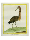 Rufescent Tiger Heron Giclee Print by Georges-Louis Buffon