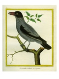 Barred Cuckooshrike Reproduction procédé giclée par Georges-Louis Buffon