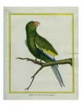 Green Parakeet Reproduction procédé giclée par Georges-Louis Buffon