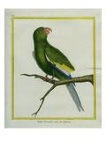 Green Parakeet Reproduction procédé giclée par Georges-Louis Buffon